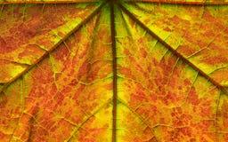 Folha de bordo com cor do outono fotos de stock royalty free