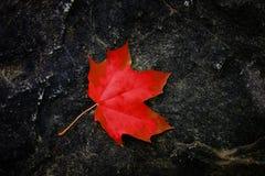 Folha de bordo da queda na rocha áspera no outono da região selvagem foto de stock