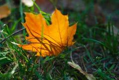 Folha de bordo do outono na grama Foto de Stock Royalty Free