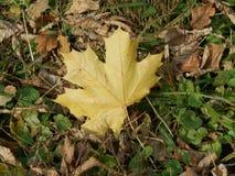 Folha de bordo do outono nas folhas secas imagem de stock