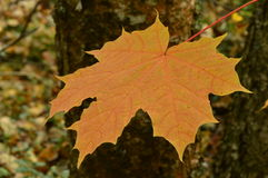Folha de bordo do outono no fundo das árvores Imagens de Stock