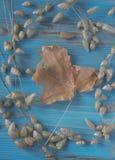 Folha de bordo do outono, ovatus de Lagurus e Briza velhos, Poaceae na tabela de madeira azul Fundo do estilo do vintage Herbário fotos de stock royalty free