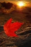 Folha de bordo do vermelho do raio de sol Fotos de Stock Royalty Free