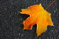 Folha de bordo molhada no asfalto Imagens de Stock