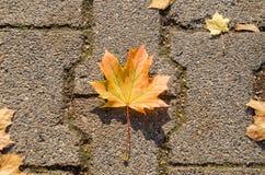 Folha de bordo na pedra da estrada no outono fotos de stock royalty free