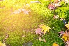 Folha de bordo na terra verde do musgo fotografia de stock