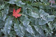 Folha de bordo na vegetação rasteira geada Imagens de Stock