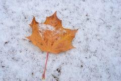 Folha de bordo neve do outono do fundo branco em uma primeira Foto de Stock Royalty Free
