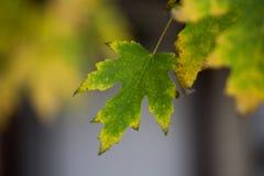 Folha de bordo que pendura na árvore no outono atrasado imagem de stock royalty free
