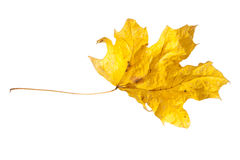 Folha de bordo seca isolada Fotografia de Stock