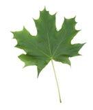 Folha de bordo verde, isolada em um fundo branco Única folha verde-clara Plantas da mola foto de stock royalty free