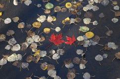 Folha de bordo vermelha cercada em cores da queda Fotografia de Stock Royalty Free