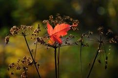 Folha de bordo vermelha do outono na Web imagem de stock