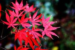 A folha de bordo vermelha impetuosa na montanha de Yuelu na cidade de Changsha fotografia de stock royalty free