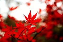 A folha de bordo vermelha impetuosa na montanha de Yuelu na cidade de Changsha fotos de stock