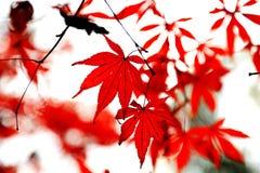 A folha de bordo vermelha impetuosa na montanha de Yuelu na cidade de Changsha imagem de stock royalty free