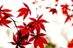 A folha de bordo vermelha impetuosa na montanha de Yuelu na cidade de Changsha imagens de stock royalty free