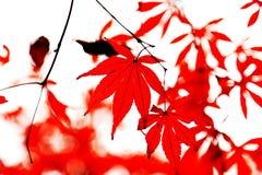 A folha de bordo vermelha impetuosa na montanha de Yuelu na cidade de Changsha foto de stock royalty free