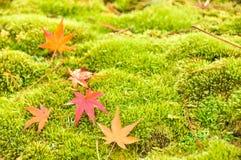 Folha de bordo vermelha na grama verde Fotos de Stock