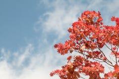 Folha de bordo vermelha no ramo no céu azul agradável em Japão Autumn Season fotografia de stock royalty free