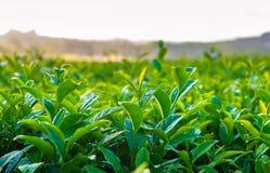 Folha de chá Fotos de Stock