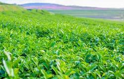 Folha de chá Fotografia de Stock