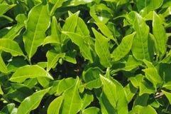 Folha de chá, camélia Sinensis Imagem de Stock Royalty Free