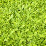A folha de chá fresca Textures o fundo fotos de stock royalty free