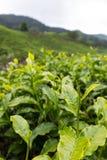 Folha de chá na plantação de chá em Cameron Highland, Malásia fotos de stock royalty free