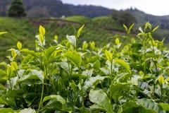 Folha de chá na plantação de chá em Cameron Highland, Malásia fotos de stock