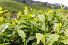 Folha de chá na plantação de chá em Cameron Highland, Malásia imagens de stock