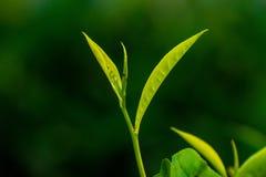 Folha de chá recém-nascida imagem de stock royalty free