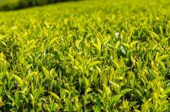 Folha de chá verde - campos verdes Foto de Stock Royalty Free