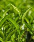Folha de chá verde - campos verdes Fotos de Stock