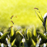 Folha de chá verde com a formiga nela Foto de Stock