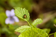 Folha de extremidade do besouro de um arbusto Foto de Stock Royalty Free
