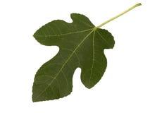 Folha de figo - isolada no branco Imagens de Stock Royalty Free