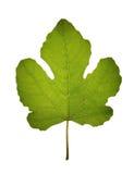 Folha de figo isolada translúcida Foto de Stock Royalty Free