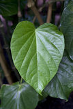 Folha de Kava Foto de Stock