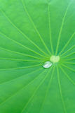 Folha de Lotus Imagem de Stock Royalty Free