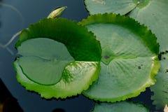 Folha de Lotus na lagoa de lótus em um dia ensolarado Foto de Stock Royalty Free