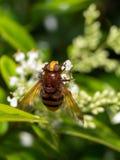 A folha de mosca da casa Fotografia de Stock
