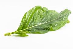 Folha de Noni no fundo branco O fruto de Noni é erva e folhas usadas como o alimento Imagens de Stock