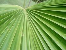 Folha de palmeira Imagens de Stock Royalty Free