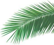 Folha de palmeira ilustração do vetor