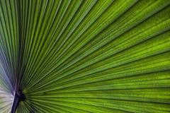 Folha de palmeira Fotografia de Stock Royalty Free