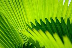 A folha de palmeira com diagonal alinha o close up Foto de Stock