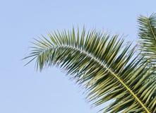 Folha de palmeira contra o céu azul com espaço da cópia foto de stock