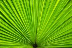 folha de palmeira da banana Imagem de Stock Royalty Free