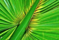 Folha de palmeira da floresta tropical Foto de Stock